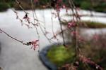 budding, portland japanese garden